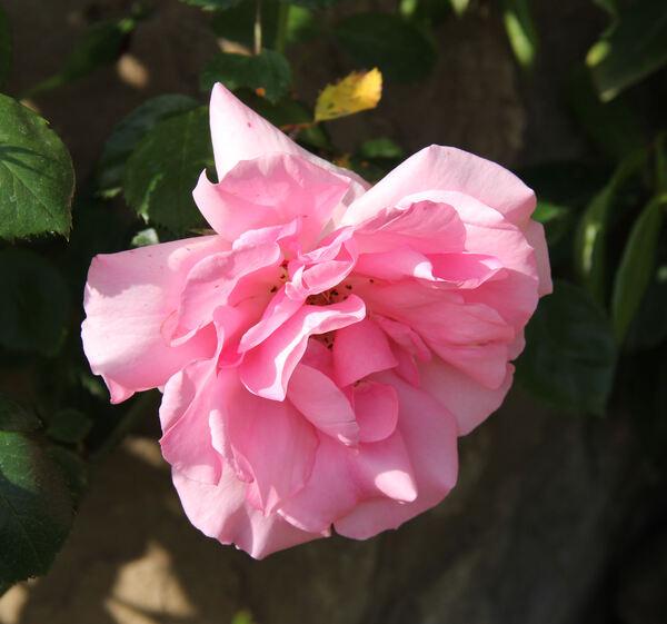Rosa 'Bantry Bay ®'