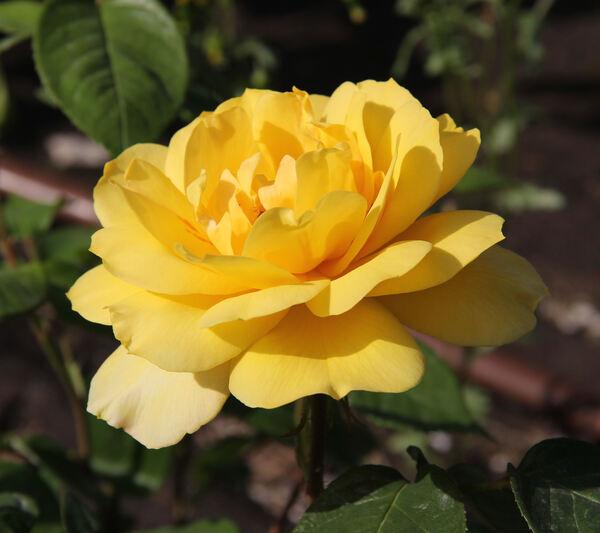 Rosa 'Gold Glow'