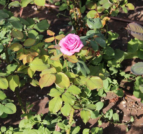 Rosa 'Burgund '81 ®'