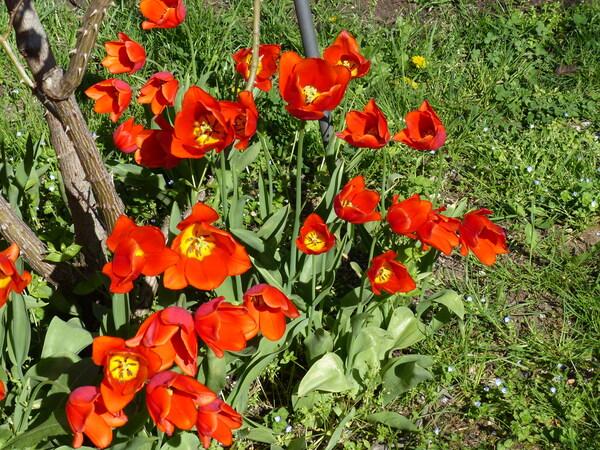Tulipa 'Orange Cassini'