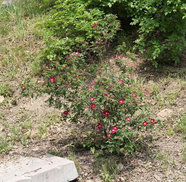 Rosa 'Single Cherry'