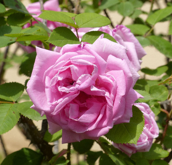 Rosa 'Conrad Ferdinand Meyer'