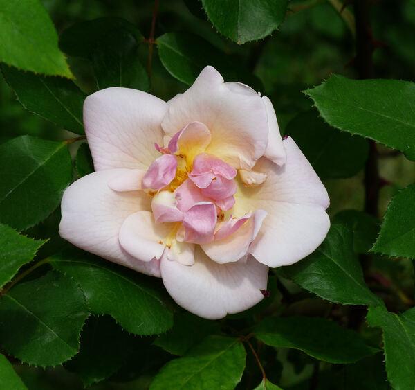 Rosa 'Bishop Darlington'
