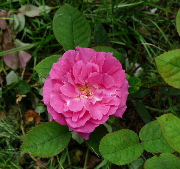 Rosa 'Madame Sophie Charlotte'