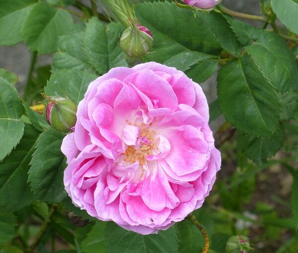 Rosa 'Queen of Bourbons'