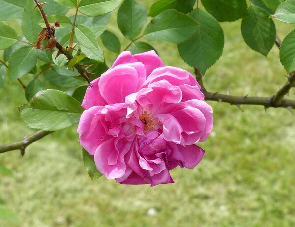 Rosa 'Indica Via Aurelia'
