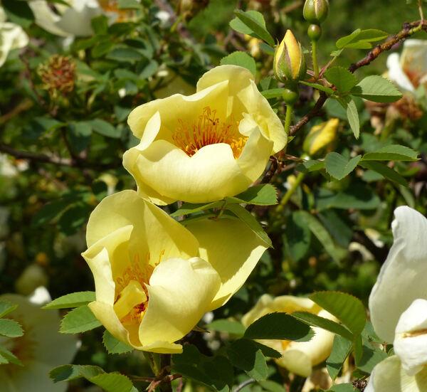 Rosa 'Aïcha'