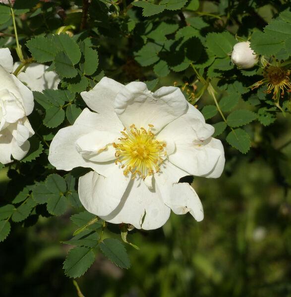 Rosa 'Double Cream'