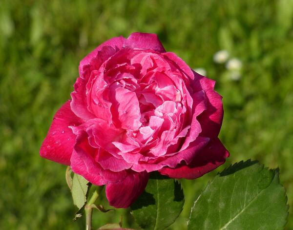 Rosa 'Bella di Monza'