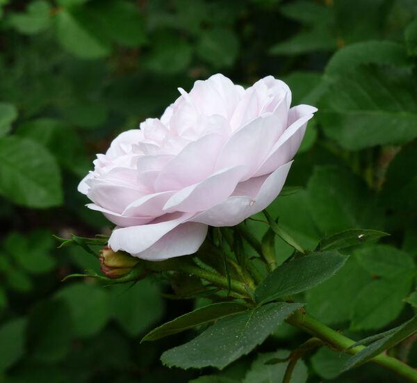 Rosa 'Jeanne d'Arc Polyantha'