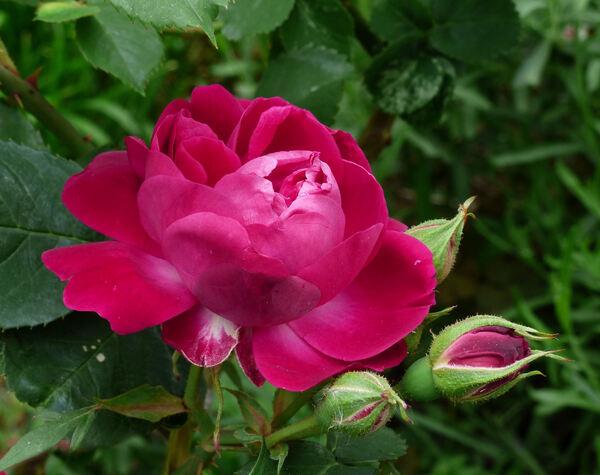 Rosa 'Eugène E. Marlitt'