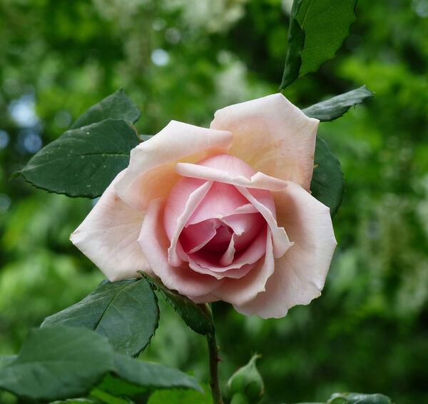 Rosa 'Paul Lédé'