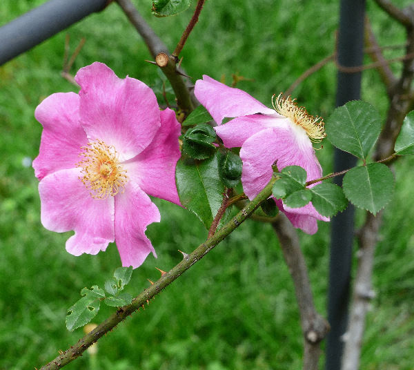 Rosa 'Anemonoides Ramona'