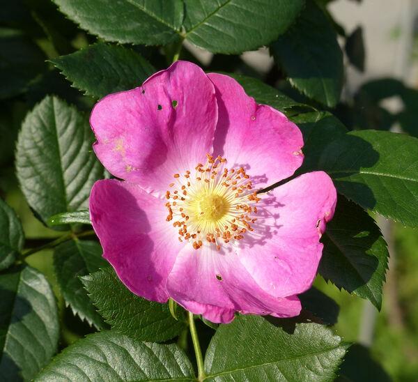 Rosa 'Kiese'