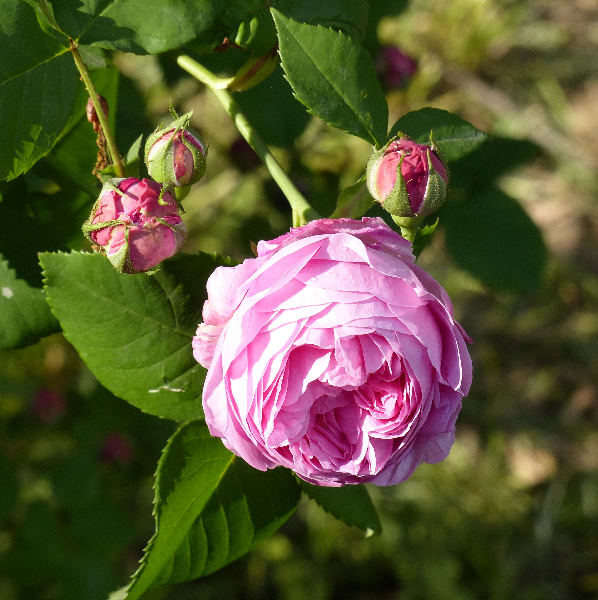 Rosa 'Prince Napoléon'