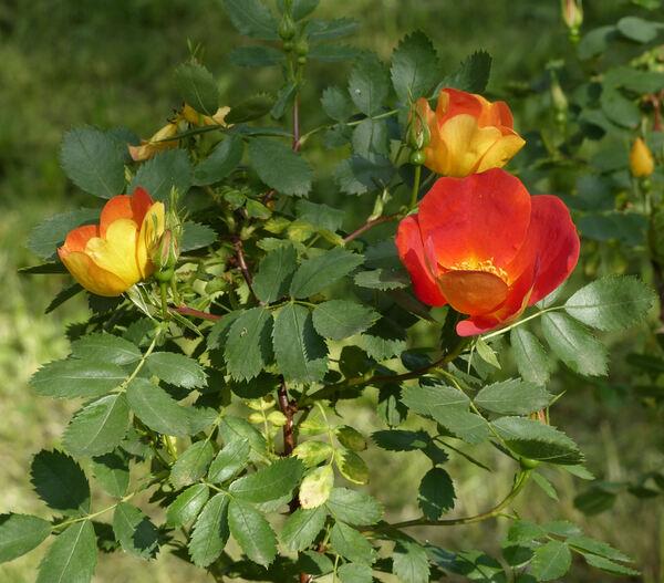 Rosa 'Capucine Bicolore'