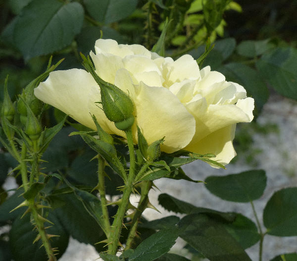 Rosa 'Yellow Dagmar Hastrup'