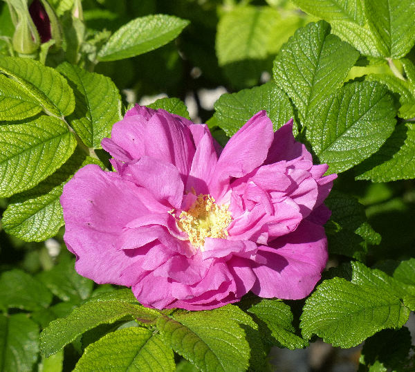 Rosa 'Moje Hammarberg ®'
