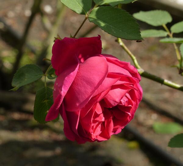 Rosa 'Hugh Dickson'