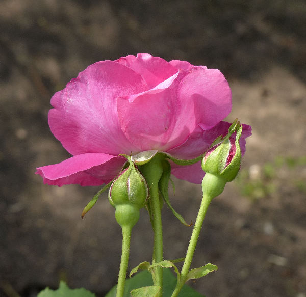 Rosa 'Marchioness of Lorne'