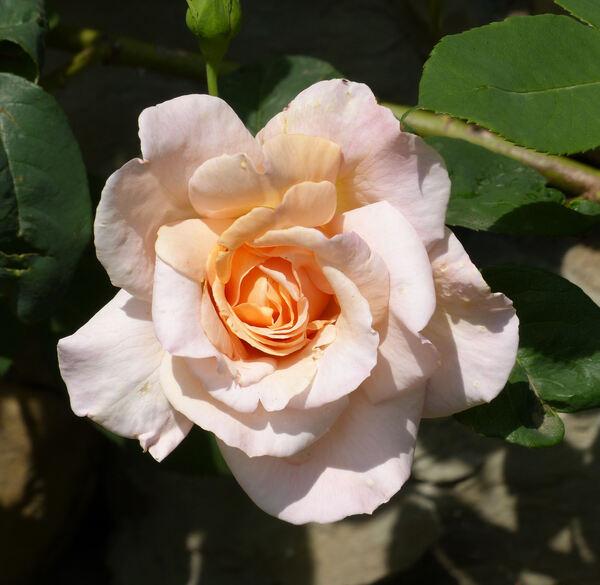 Rosa 'Santa Catalina'