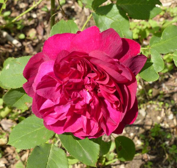Rosa 'Monferrato'
