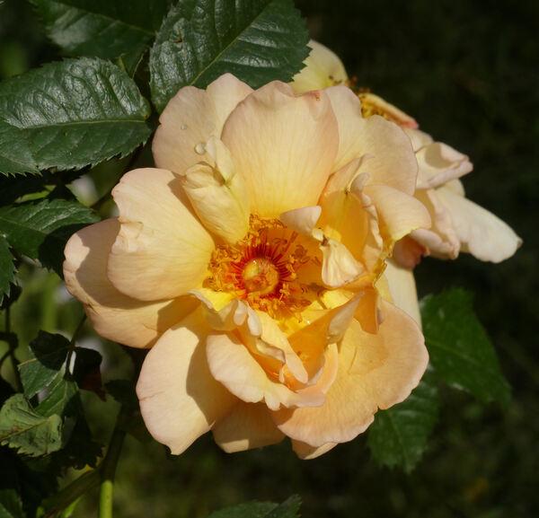 Rosa 'Maigold'