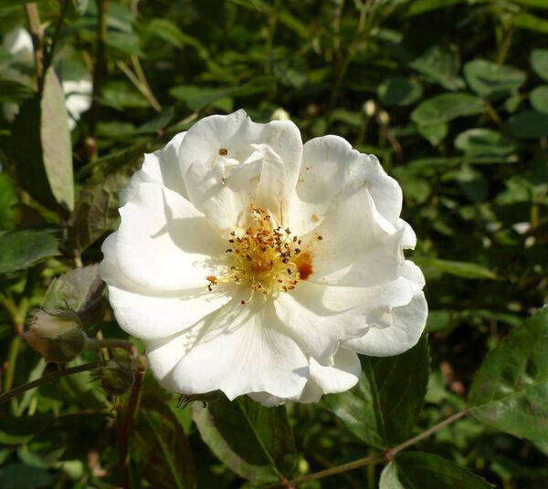 Rosa 'Moonlight'