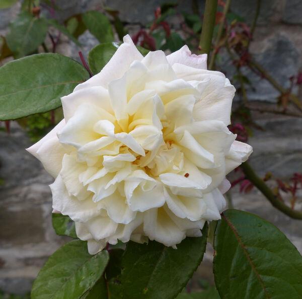 Rosa 'William R. Smith'