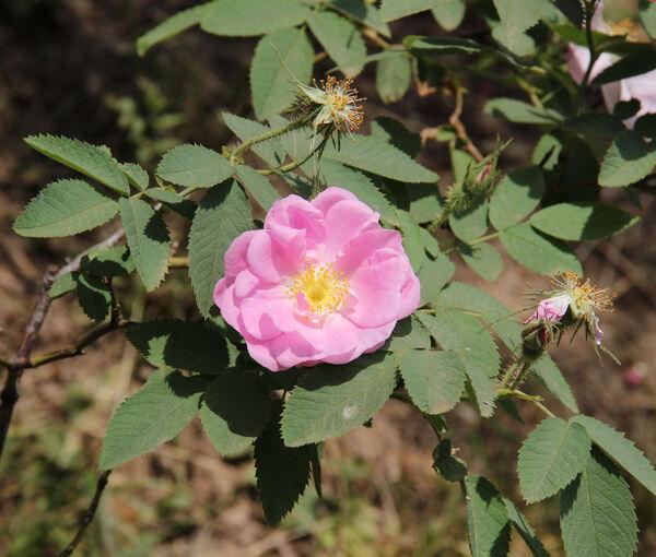 Rosa 'Duplex'