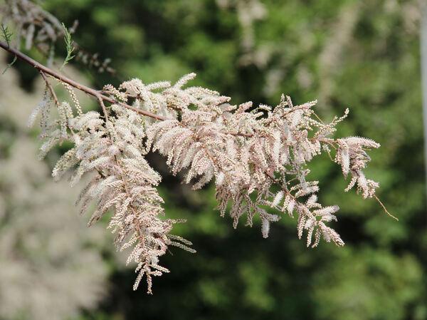 Tamarix gallica L.
