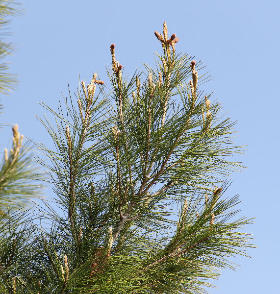 Pinus halepensis Mill. subsp. halepensis