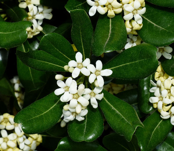 Pittosporum tobira (Thunb.) W.T.Aiton