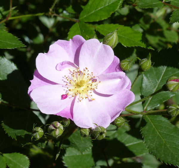 Rosa 'Lavender Dream'