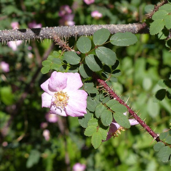 Rosa farreri Cox f. persetosa Stapf