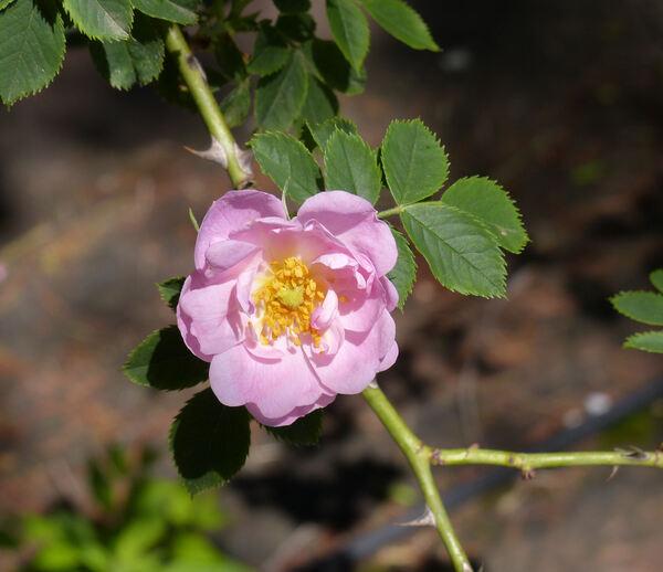 Rosa 'Abbotswood'