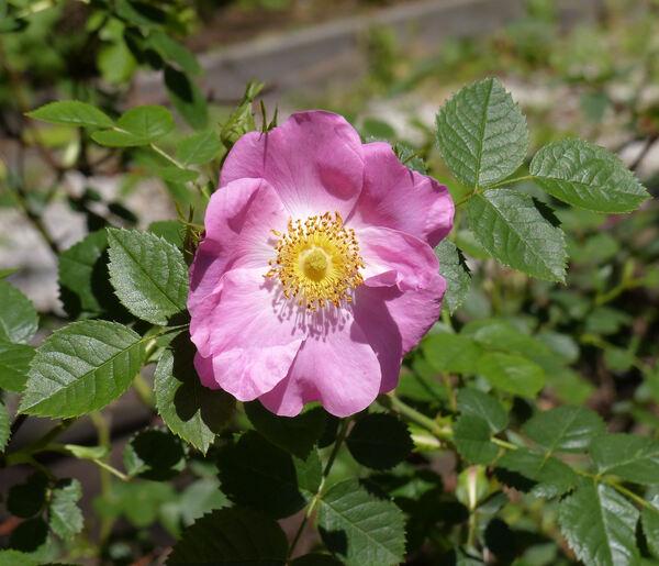 Rosa 'Lucy Bertram'