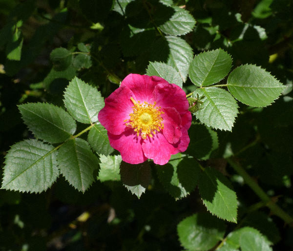 Rosa 'Green Mantle'