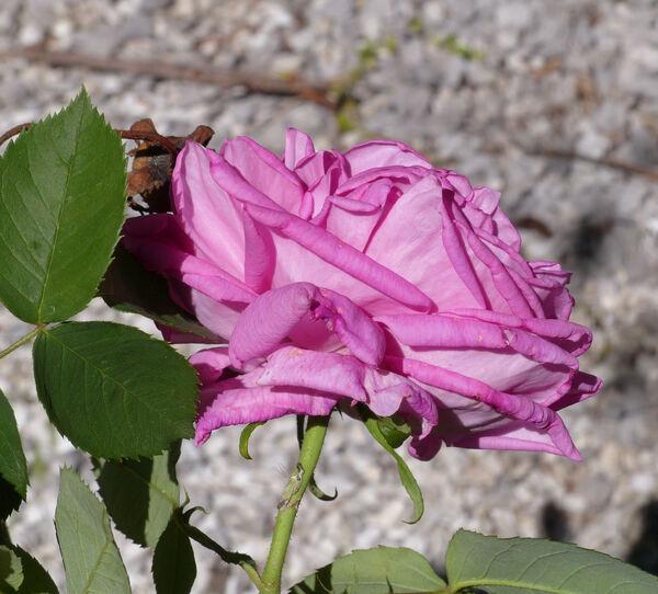 Rosa 'Comtesse Henriette Combes'