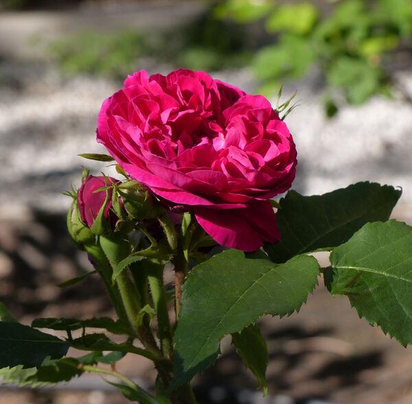 Rosa 'Star of Waltham'