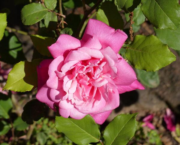 Rosa 'Général Schablikine'