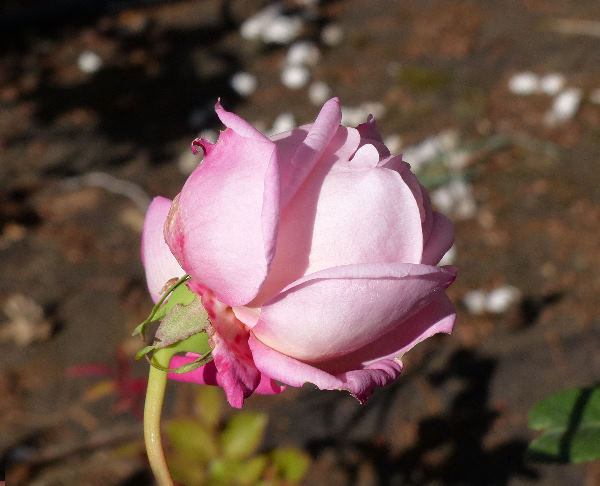 Rosa 'Monsieur Tillier'