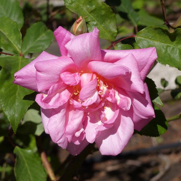 Rosa 'Bon Silène'