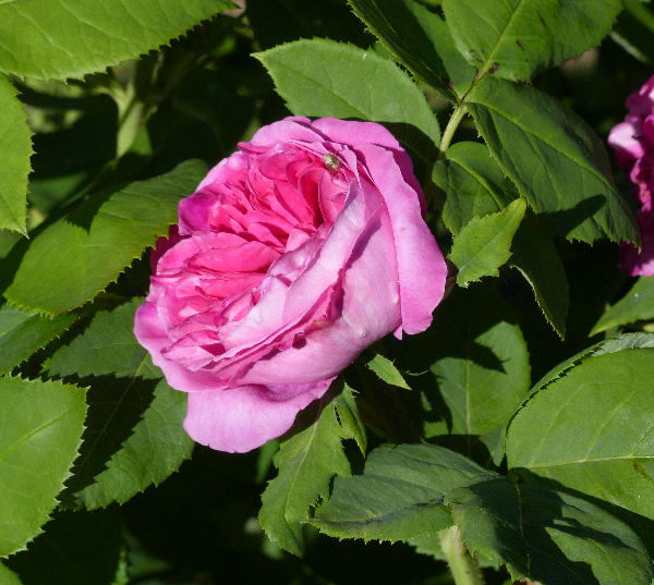 Rosa 'Yolande d'Aragon'
