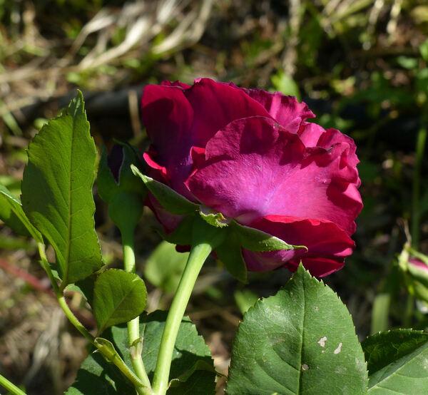 Rosa 'Souvenir du Docteur Jamain'
