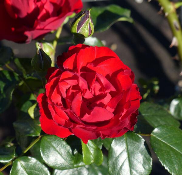 Rosa 'Dublin Bay ®'