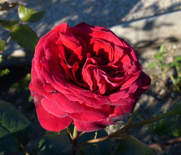 Rosa 'Roundelay'