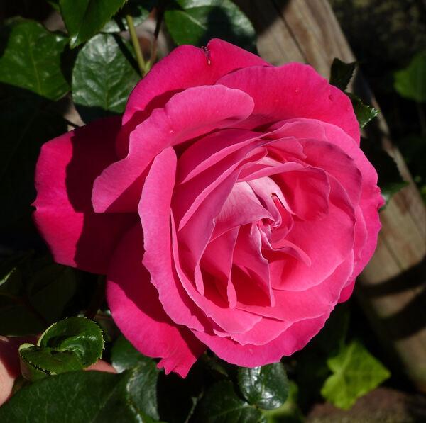 Rosa 'Baronne Edmond de Rothschild ®'