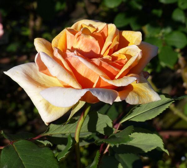 Rosa 'Princess Beatrix'