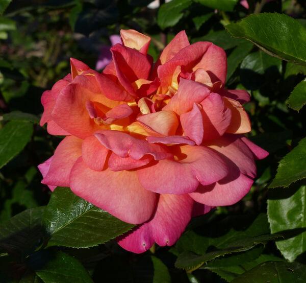 Rosa 'Président Chaussé'